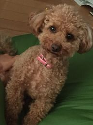 トイプードル愛犬