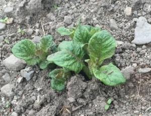 ジャガイモ芽が出た