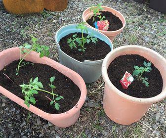 ミニトマト植えました