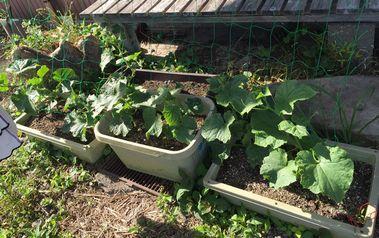 きゅうり家庭菜園ネット貼り