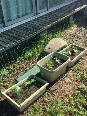 キュウリ家庭菜園