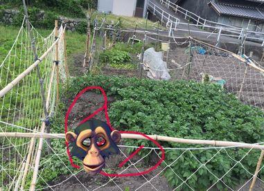 ジャガイモ猿被害