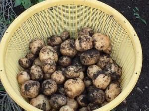 家庭菜園ジャガイモ 収穫