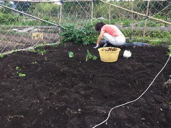 家庭菜園ジャガイモ 掘り