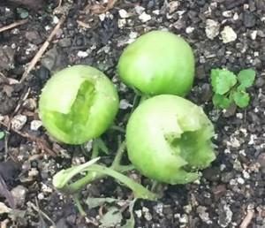 ミニトマトのカラス被害