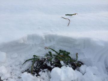 雪の中で収穫が大変 (5)