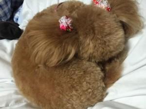 愛犬の寝姿