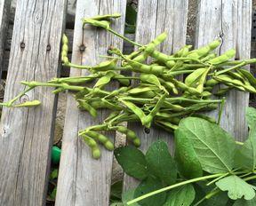 枝豆収穫 (2)