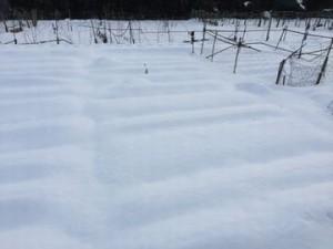 雪の中で収穫が大変 (2)