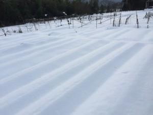 雪の中で収穫が大変 (3)